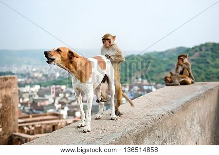 The monkey and dog during copulation. Galwar Bagh Monkey Temple Jaipur India