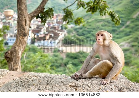 Rhesus macaque sitting under the tree near Galta Temple in Jaipur India. The temple is famous for large troop of monkeys who live here