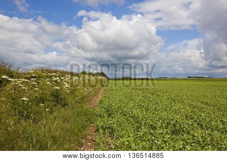 Pea Field With Wildflowers
