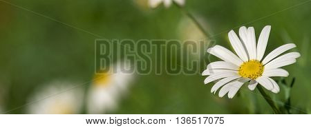 White Daisy Flower Close Up Background
