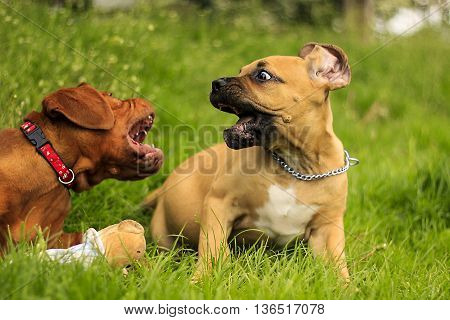 Boerboel A Dogue De Bordeaux Puppy