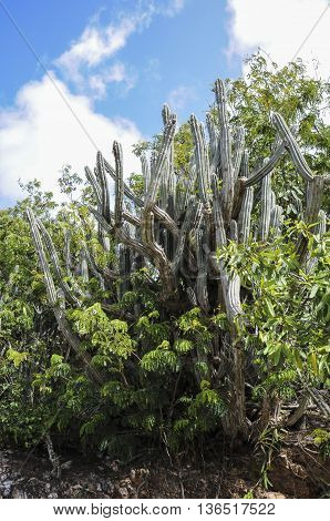 A cactus on the side of a mountain on St. John island.