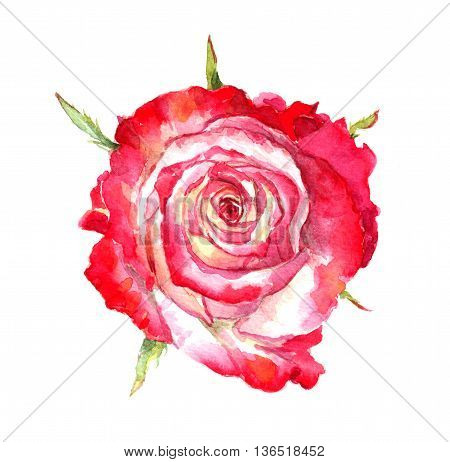 Red rose flower. Watercolor drawing view above
