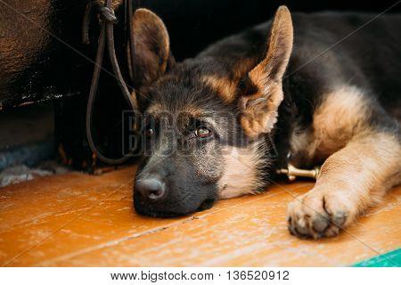 Close Up Head Young German Shepherd Alsatian Wolf Puppy Dog Sitting On Wooden Floor