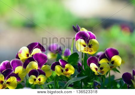 Viola cornuta horned pansy tufted pansy.Pansies in a summer garden