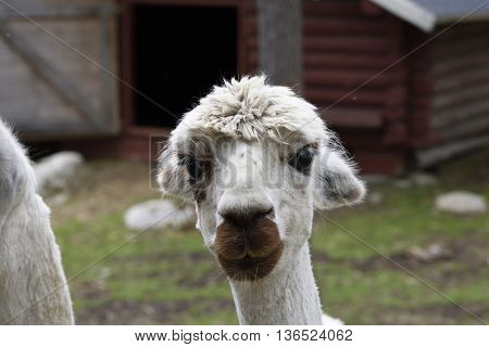 Head of a white Alpaca (Vicugna pacos) in a park in the North of Sweden.