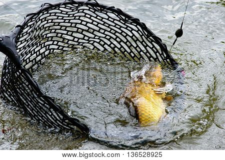 Large hooked carp still attached to the line and hook being landed in a fishing net in a lake close up view