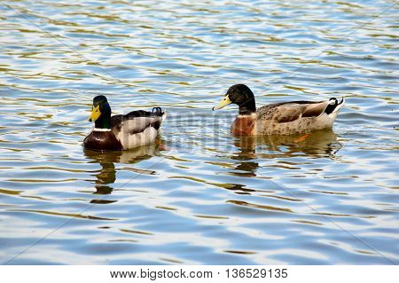 Pair of mallard ducks swimming in a lake with rippling sunlight reflections on the surface of the water and copy space