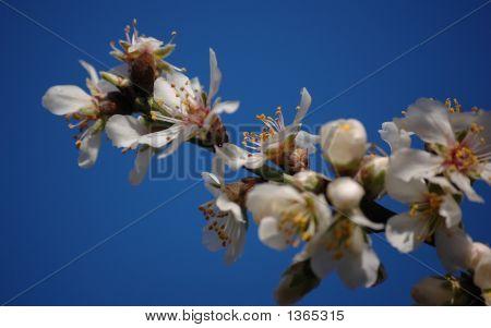 Almond Branch1