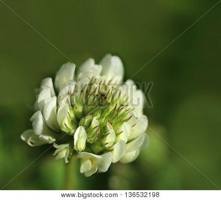 White clover flower blooming spring summer feeling