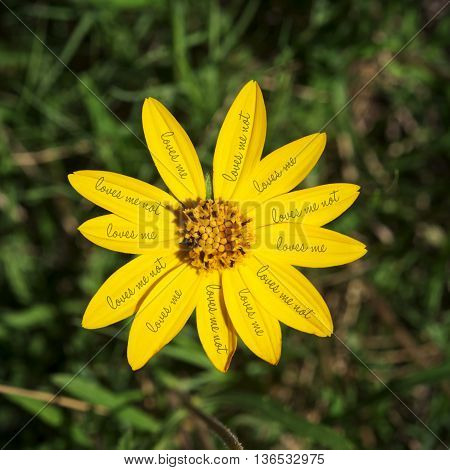 Colorful yellow daisy flower with loves me not text on petals and green field blur background.
