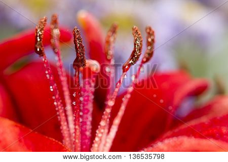 Crimson colored daylily covered in raindrops background