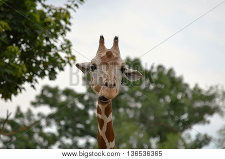 Head shot of a giraffe with personality