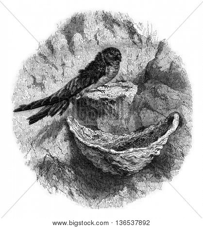 Hirondelle edible nest swiftlet, vintage engraved illustration. Magasin Pittoresque 1861.