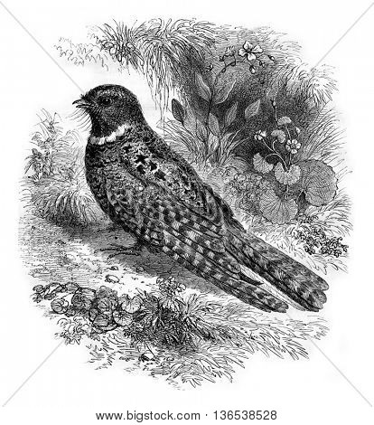 Nightjar of North America, Caprimulgus vociferus, vintage engraved illustration. Magasin Pittoresque 1861.