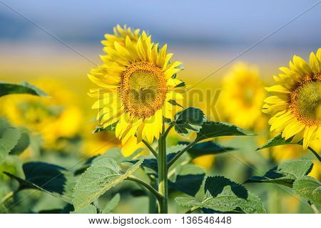 Beautifully blooming in yellow sunflowers plantation in sunny day
