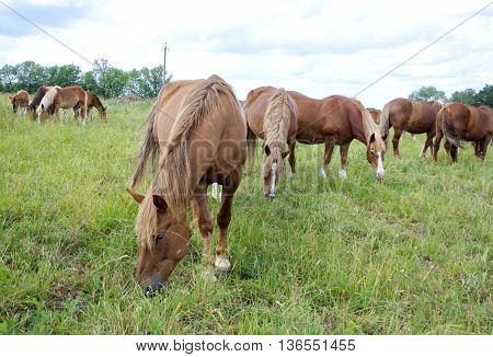a herd of horses on a summer day grazing in the meadow