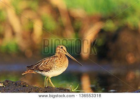 hunting bird, beautiful snipe bird at sunrise, summer morning