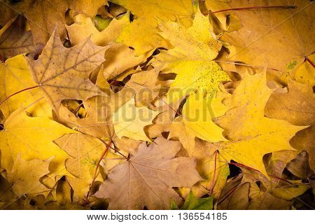 Autumn natural background with maple yellow leaves, space for text