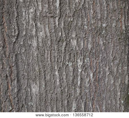 Old tree bark texture. Closeup shot of tree cortex.