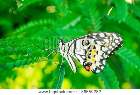 A butterfly on tamarind leaves in garden