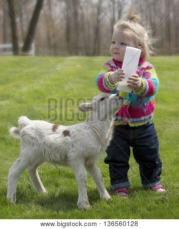 Cute, young girl, bottle feeding milk to Katahdin lamb.