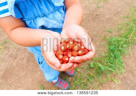 Little girl holding a handful of strawberries.