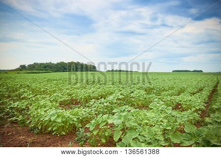 Field Of Young Green Sunflower Plants, Russia