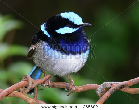 Superb Blue Wren  Male   Jpeg For Stock