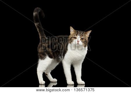 Sad Scottish Straight Cat White with Brown tabby Standing in Isolated Black Background Profile view Tail up