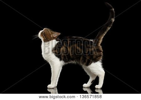 Funny Scottish Straight Cat White with Brown tabby Standing on Isolated Black Background Profile view Raising up head and Tail