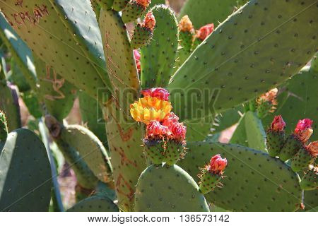 prickly cactus flowered, the flowers yellow orange pink colors, lots of thorns, leaves flat oval