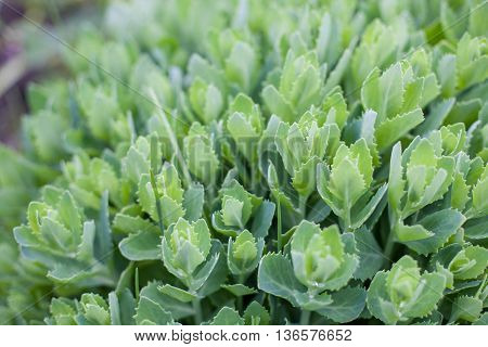 Light green plant with leaves like rosebuds