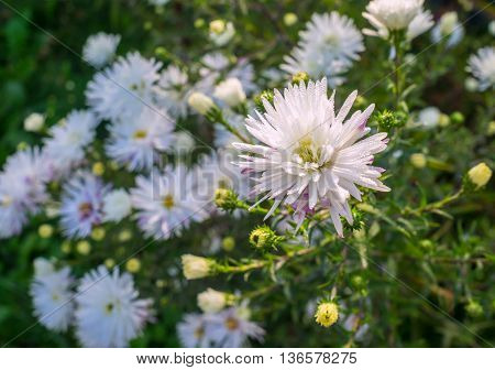 wild white asters with dew drops on the petals in autumn morning