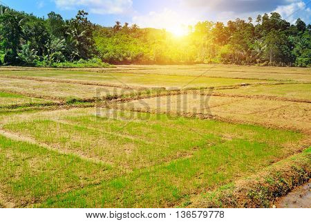 paddy field and sunrise on blue sky