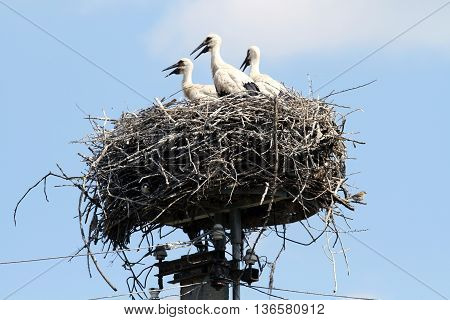 Black Beak Baby Storks Sitting In A Large Nest