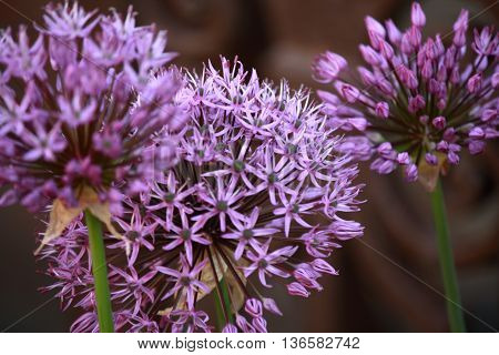 closeup of giant onion flower heads in bloom