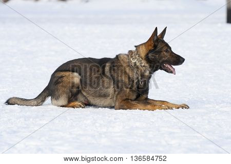 german sheepdog laying on the white snow