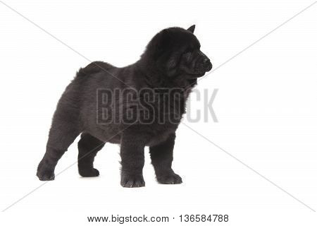 Black Chow-chow Puppy