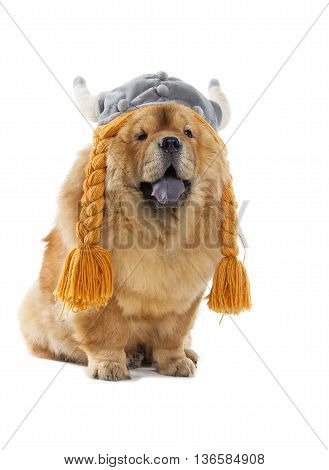 Chow-chow Dog With Viking Hat