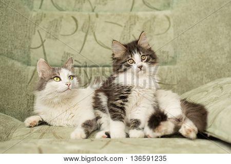 Mum cat and cute kitten sitting in a chair. Pet.