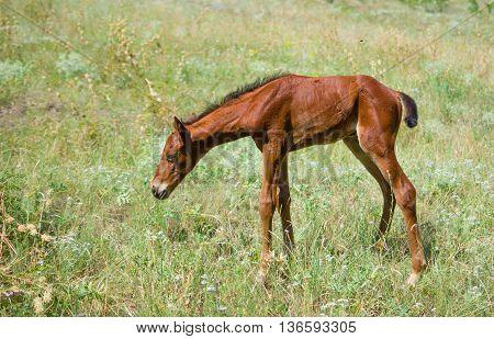 First steps - newborn foal on a summer pasture