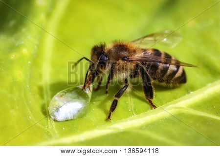 Macro Image Of A Bee Drinking A Water Drop From A Green Leaf