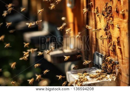 Hives In An Apiary With Bees Flying To The Landing Boards In A Green Garden