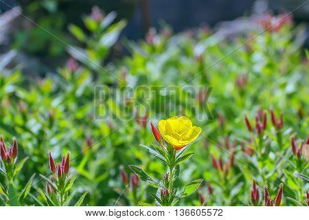 One Yellow Flower In Garden