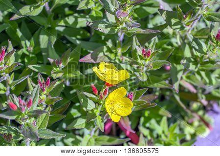 Two Yellow Flowers In Garden