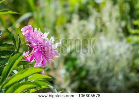 Peony Flower In Garden