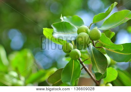 Wild green fruits in the sping in park