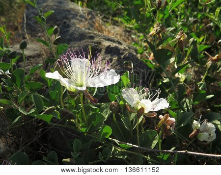 Wild Passion Flower Like Weed