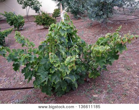 Low Grape Vine